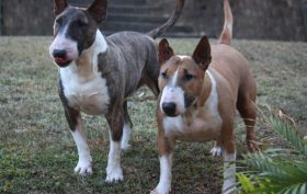 le chien Bull Terrier