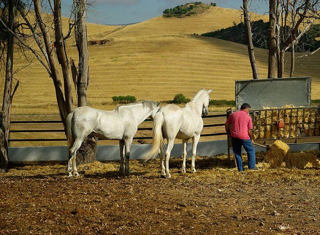 mangeoire avec chevaux et poneys
