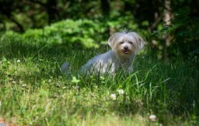 Adoption d'un Bichon Maltais