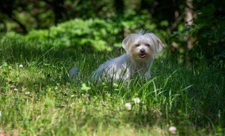 Adoption d'un Bichon Maltais