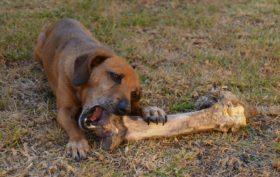 repas sain pour une chienne