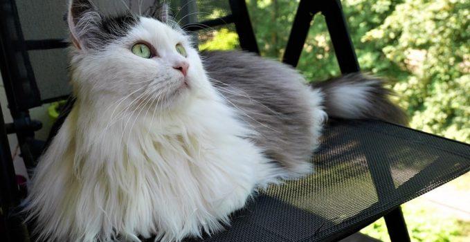 Élever un chat sibérien