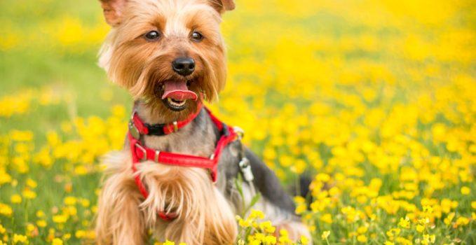 harnais adapté à la taille de votre chien