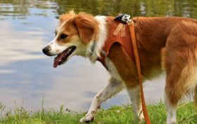 choissir une laisse pour sa chienne