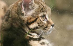 race de chat sauvage aux pattes noires