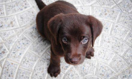 chien qui est préféré par tout le monde