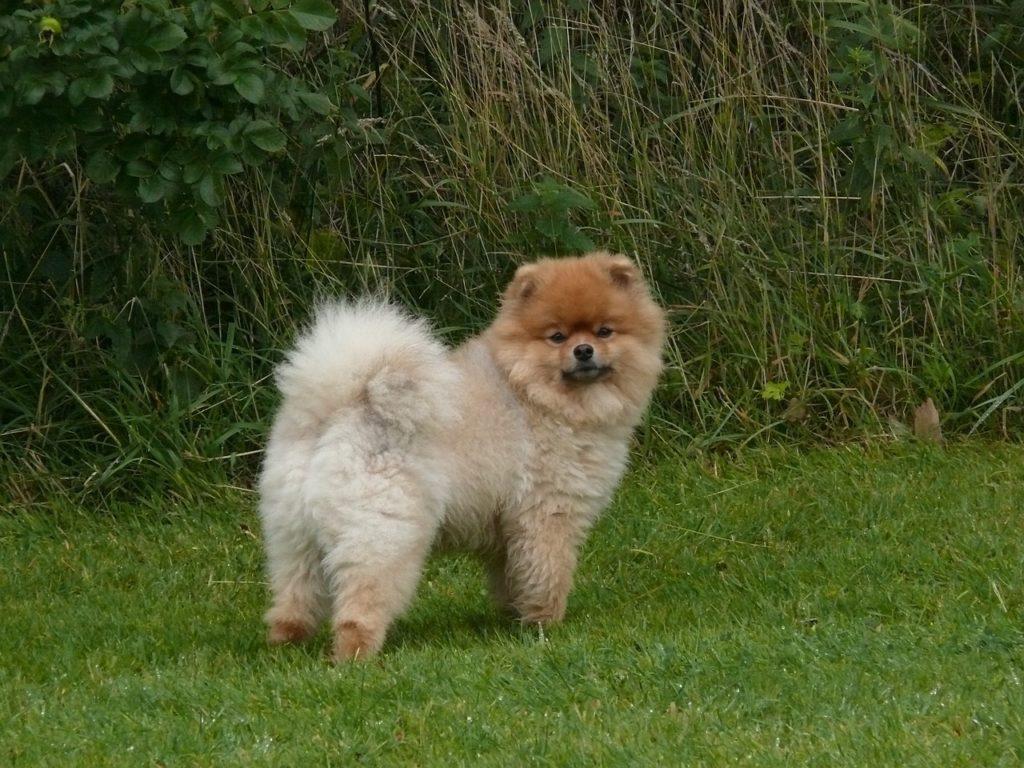 caractère du chien spitz nain
