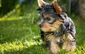 tout savoir sur le chien yorkshire-terrier