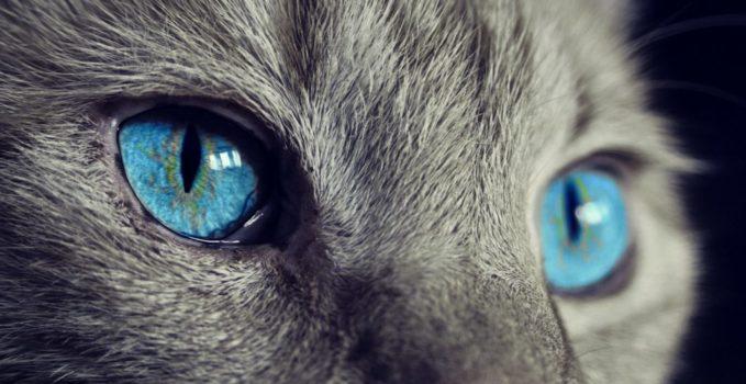brossage du chat