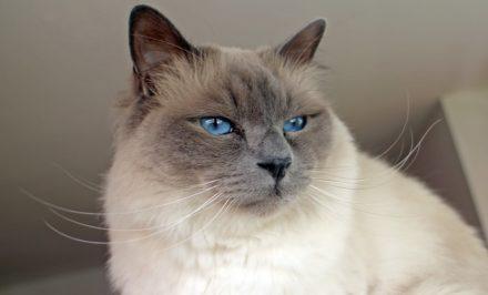 chat nommé Le sacré de Birmanie