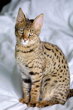 chat Savannah Origine, caractère et caractéristiques