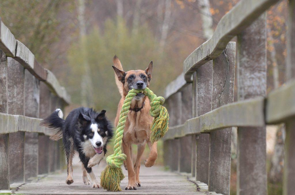 chiens qui sont en fugue car pas de clôture électronique