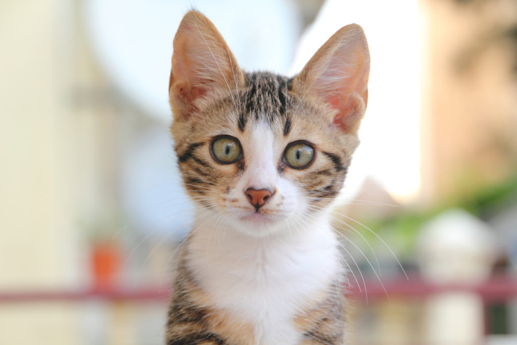 chat yeux et vision vue