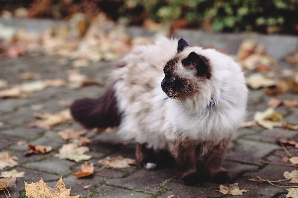 le chat birman blanc aux yeux bleus