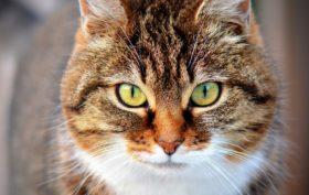 transmission des virus chez le chat