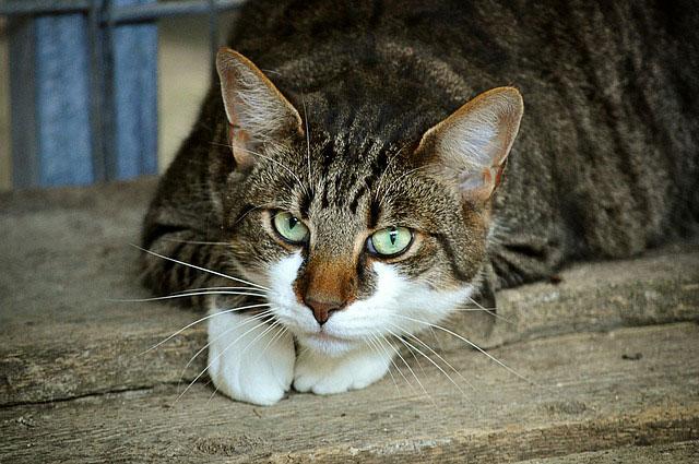 céréales dans les croquettes pour chat