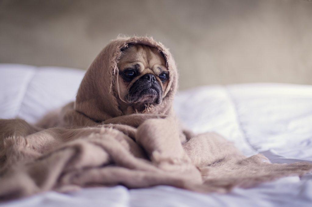 quel race de chien peuvent vivre en appartement