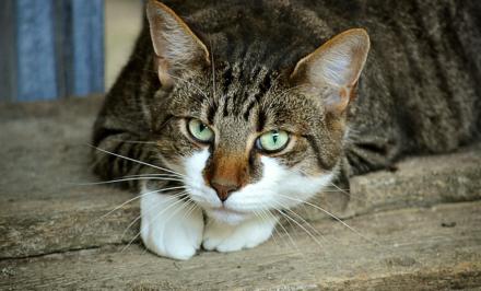 surpoid chez un chat a faire maigrir