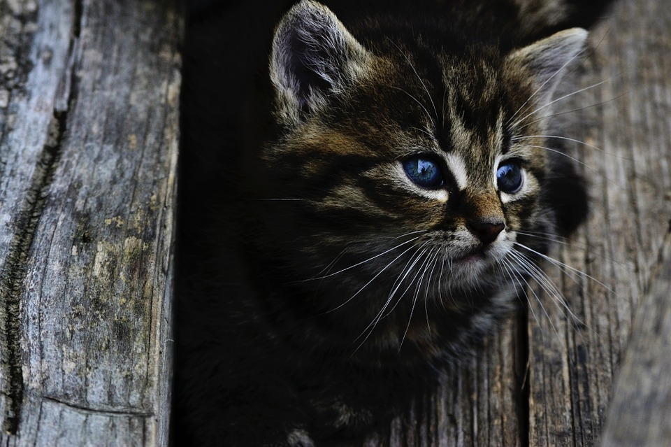 Chaton qui veut rentrer par chatière électronique