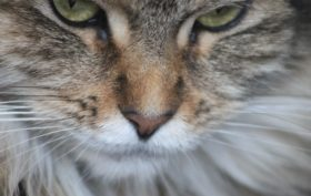 nourrir un chat de race main coon