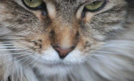 nourrir un chat de race main coon