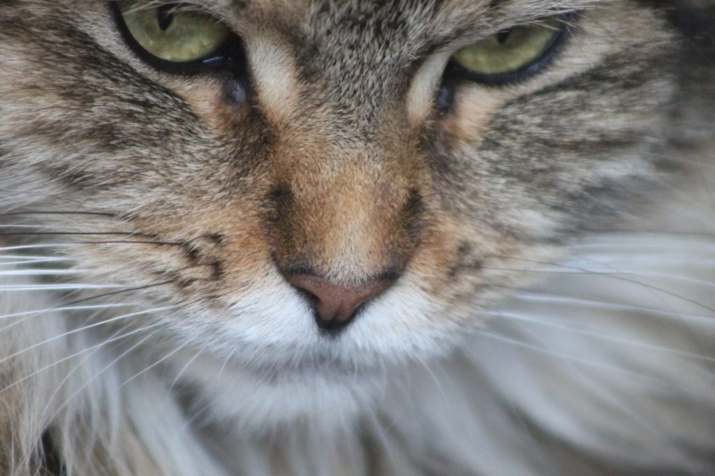 Comment bien nourrir un chat de race Maine Coon ?