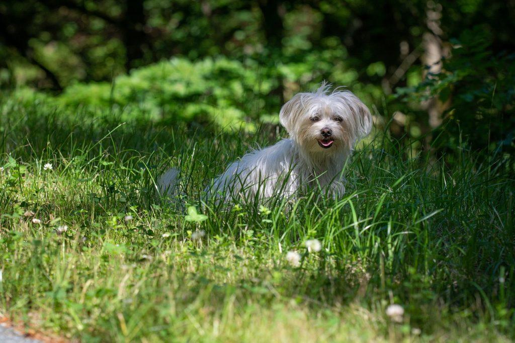 chien toy bichon maltais