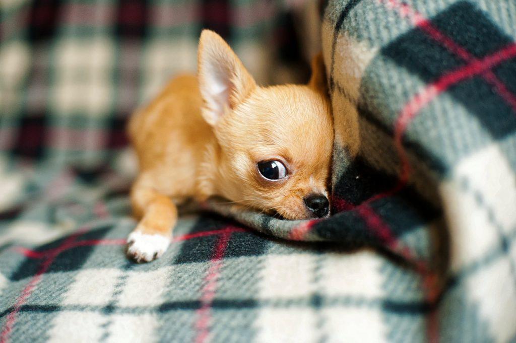 races de chien idéales pour vivre en appartement