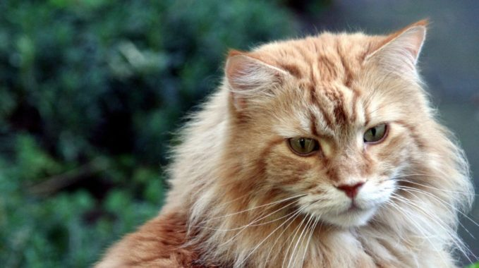 Caractère d'un chat Maine Coon