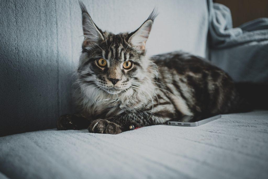 Soins d'un chat Maine Coon