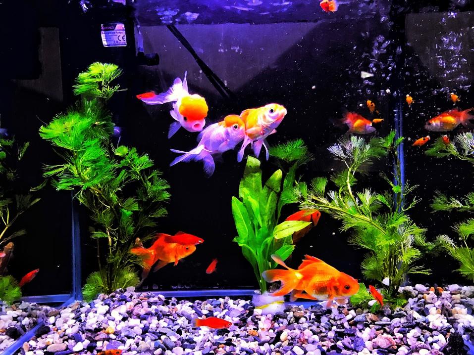 aquarium et poisson rouge