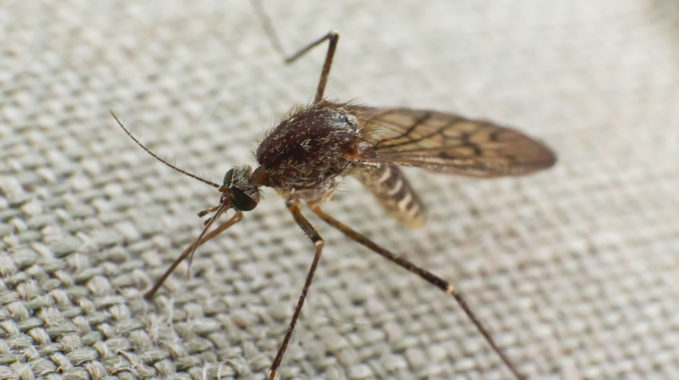 chien contre les moustiques