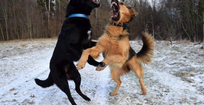 agressivité entre chiens