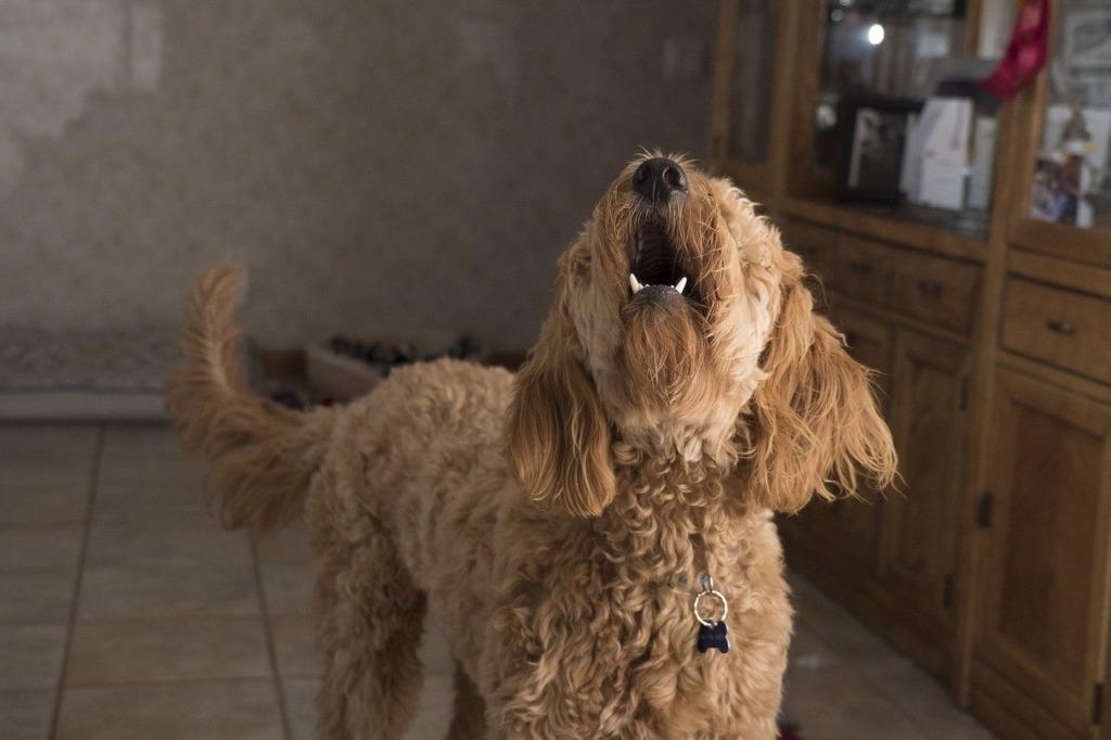 communication chien
