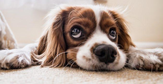 anxiété des chiens