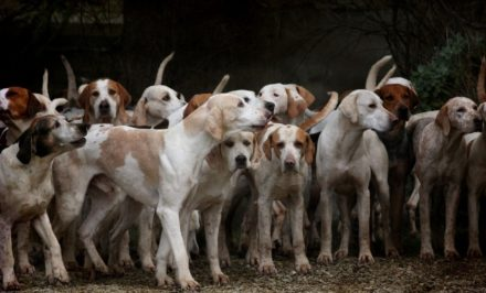 chasse avec chiens