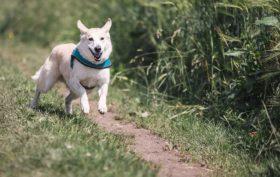 chien fugueur