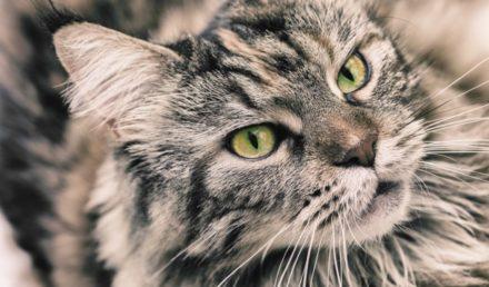 principales races de chat