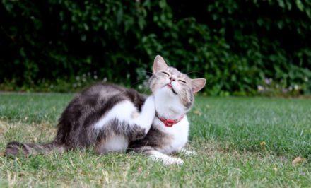 démangeaison chat