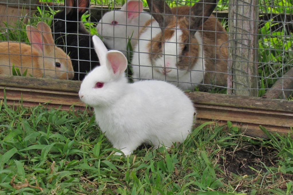 enclos à lapin