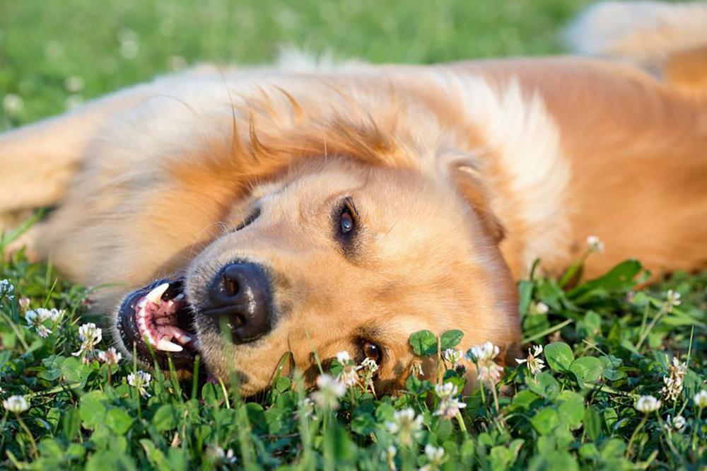 parasite du chien