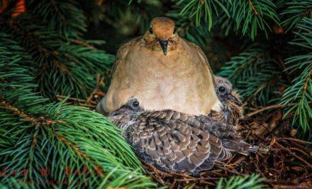 bébé pigeon