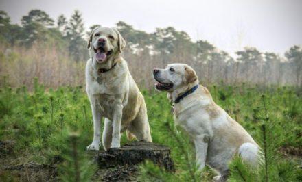 cbd chien